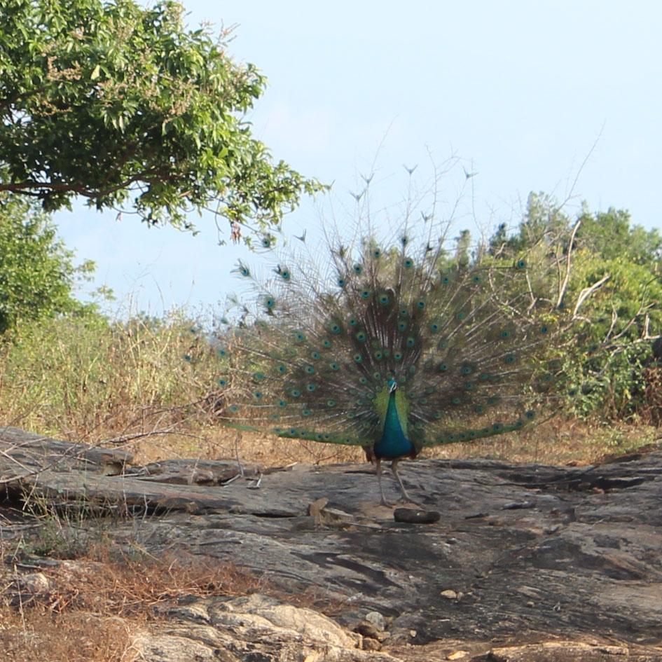 Safari_Udawalawe_National_Park_2